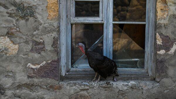 Индюк у разбитого окна в разрушенном после обстрелов доме в селе Айгепар (18 июля 2020). Тавуш - Sputnik Արմենիա
