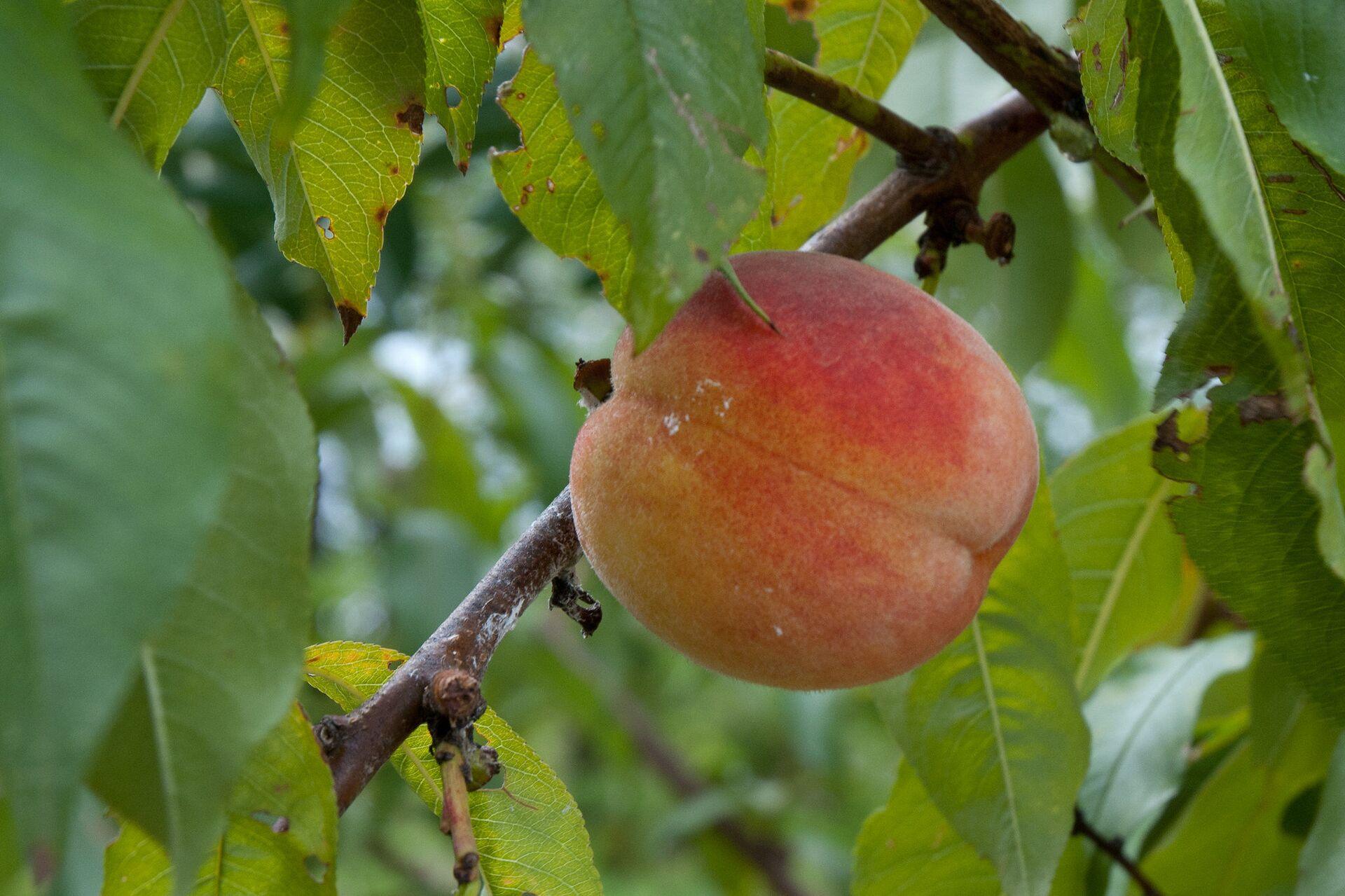 Что происходит с организмом, когда вы едите персики? - Sputnik Армения, 1920, 27.07.2021