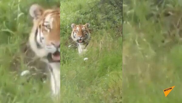 Жулик, не воруй! В Приморском крае тигр украл ведро у рыбаков - Sputnik Армения