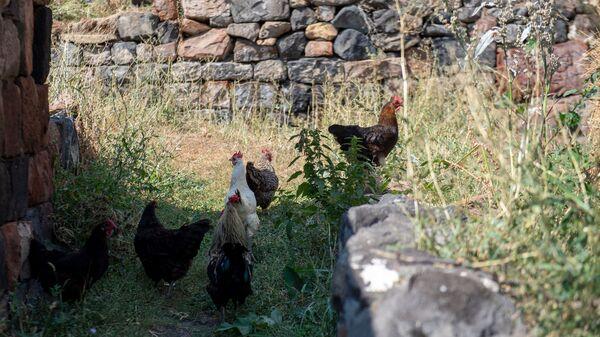 Курицы в селе Джрадзор в Ширакской области - Sputnik Արմենիա