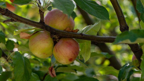 Яблоки - Sputnik Армения