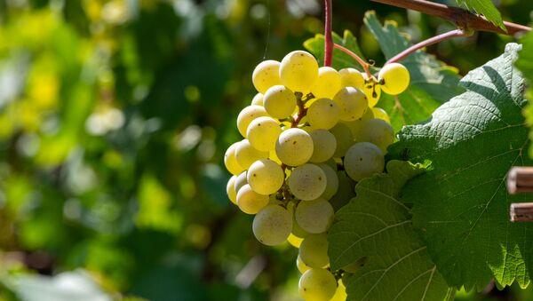 Виноградная лоза в общине Айгепар - Sputnik Армения