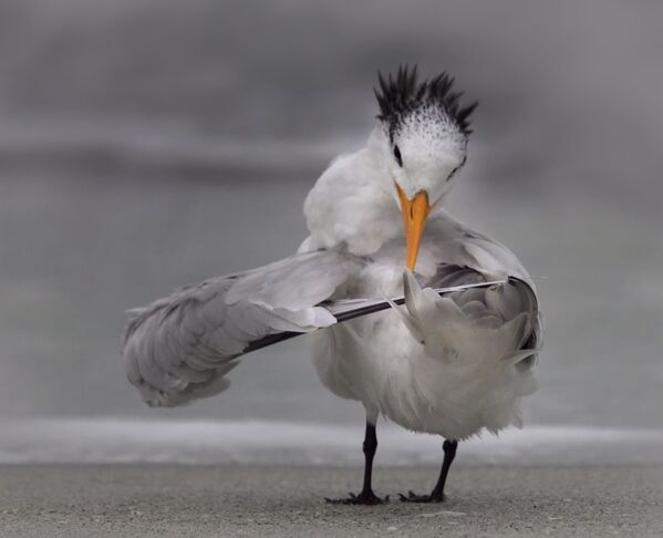 Снимок Tern tuning its wings фотографа Danielle D'Ermo, ставший финалистом конкурса 2020 The Comedy Wildlife Photography Awards - Sputnik Армения