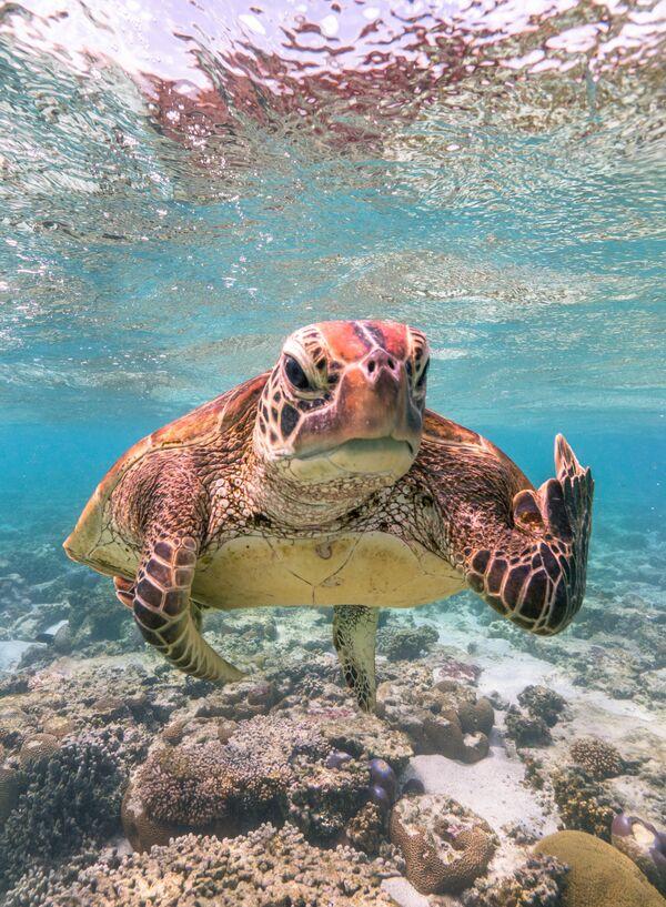 Снимок Terry the Turtle flipping the bird фотографа Mark Fitzpatrick, ставший финалистом конкурса 2020 The Comedy Wildlife Photography Awards - Sputnik Армения