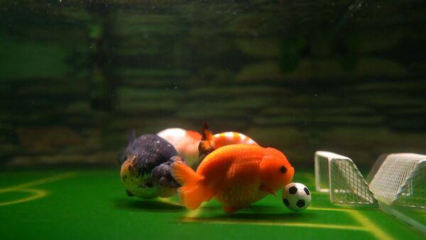 Золотая сборная: китаец учит рыбок играть в футбол - Sputnik Армения