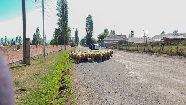 Стадо овец в селе Норакерт - Sputnik Արմենիա