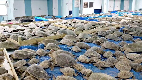Спасенные от похолодания черепахи в эвакуационном центре на острове Саут-Падре (17 февраля 2021). Техас - Sputnik Армения