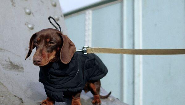Zara: теперь и для животных - Sputnik Армения