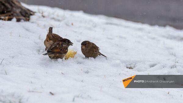 Воробьи на снегу - Sputnik Армения