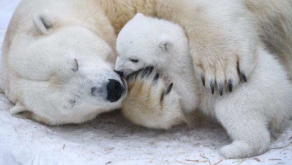 Белая медведица Герда с медвежонком в вольере Новосибирского зоопарка - Sputnik Армения