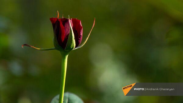 Бутон розы в теплице Карине Товмасян - Sputnik Армения