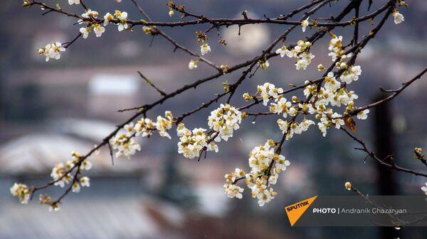 Цветущее дерево в Иджеване - Sputnik Արմենիա