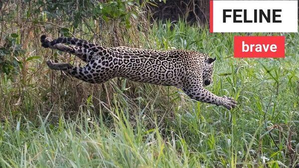 Охота ягуара на каймана - Sputnik Армения