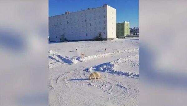 На Таймыре полицейский отогнал к берегу Карского моря забредшего в посёлок Диксон белого медведя - Sputnik Армения