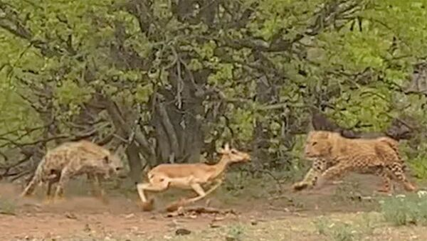 Леопард и Гиена Сражаются За Импалу, Пока она пытается убежать - Sputnik Армения