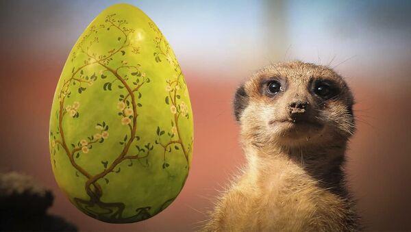 Видеофакт: сурикаты и саймири устроили охоту за пасхальными яйцами - Sputnik Армения