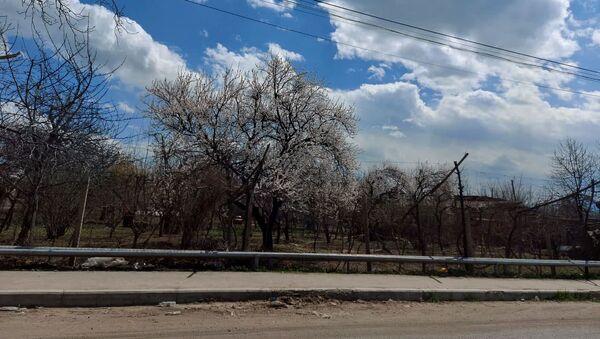 Цветущее дерево в селе Верин Двин, Араратская область - Sputnik Армения