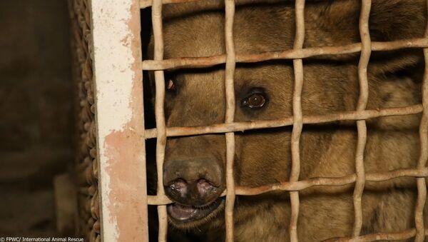 Спасенный медвежонок Питер - Sputnik Արմենիա