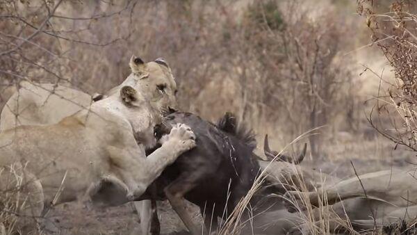 Львицы убили антилопу, сбежавшую от леопарда (видео) - Sputnik Армения