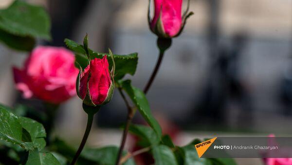 Бутон розы - Sputnik Армения
