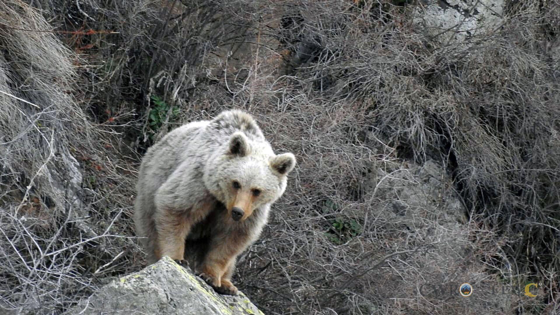 Бурый медведь в Вайоц Дзоре - Sputnik Армения, 1920, 25.09.2021