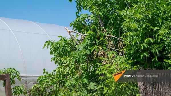 Поврежденное от ветра дерево в селе Акнашен Армавирской области - Sputnik Армения