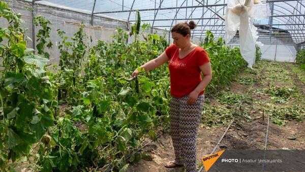 Жительница села Акнашен Армавирской области Ерануи Григорян показывает поврежденную от ветра сельхоз продукцию - Sputnik Արմենիա