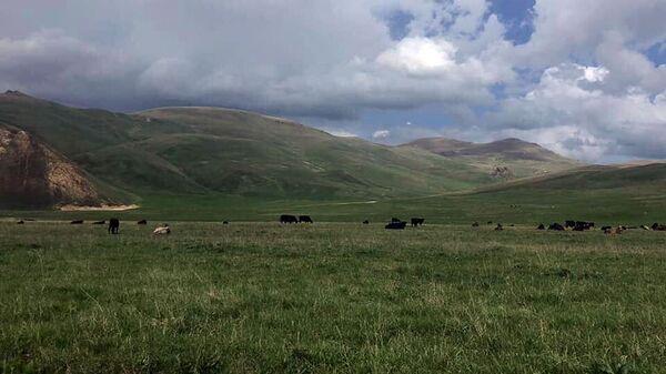 Коровы на пастбище - Sputnik Армения