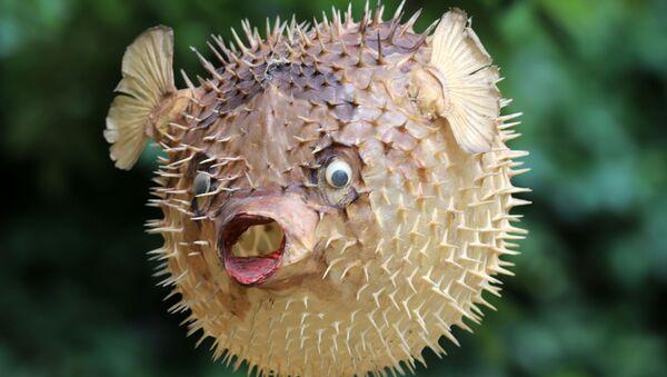 Рыба-дикобраз - Sputnik Արմենիա