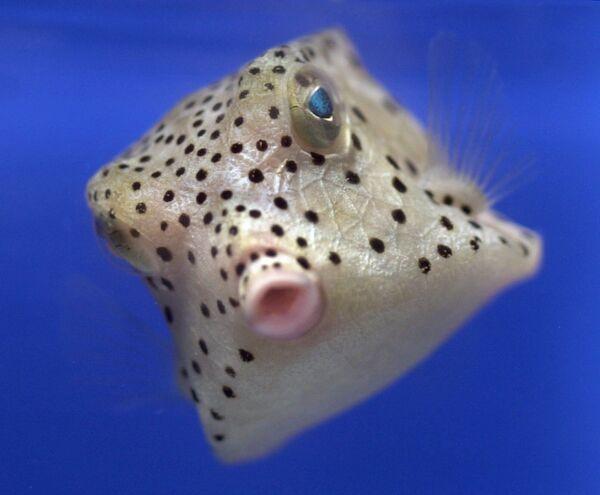 Երկդույմ ձուկը՝ Խաղաղ օվկիանոսից, լողում է Հարավային Մենի համալսարանի ակվարիումում    - Sputnik Արմենիա