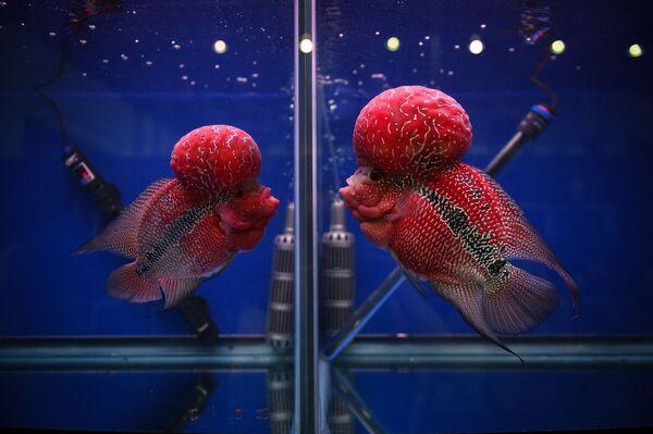 Երկու ցիխլիդ իրար են նայում առանձին ապակե ակվարիումներից՝ Բանգկոկում արևադարձային և դեկորատիվ ձկների ցուցահանդեսի ժամանակ    - Sputnik Արմենիա