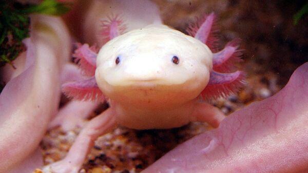 Редкий альбинистский аксолотль Мексикао выставлен в аквариуме в Taipei Sea World - Sputnik Армения