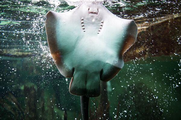 Ծովաչարք կատվաձուկը լողում է Մեծ ակվարիումի ավազանում, Սեն Մալո, Ֆանսիա - Sputnik Արմենիա