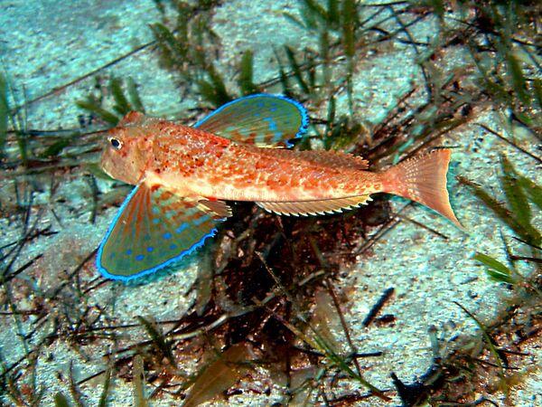 Թռչող ձուկ՝ Միջերկրական ծովում, Ֆեթհեից ոչ հեռու - Sputnik Արմենիա