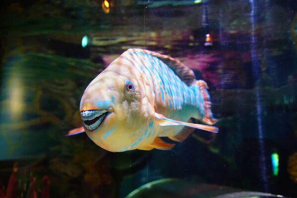 Լղոզված ատամներով թութակ-ձուկը, Օրեգոն   - Sputnik Արմենիա