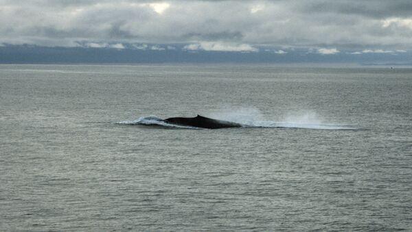 Синий кит, самое крупное млекопитающее на земном шаре - Sputnik Армения