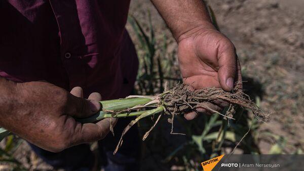 Житель села Егегнут Юра Варданян показывает засохший урожай - Sputnik Արմենիա