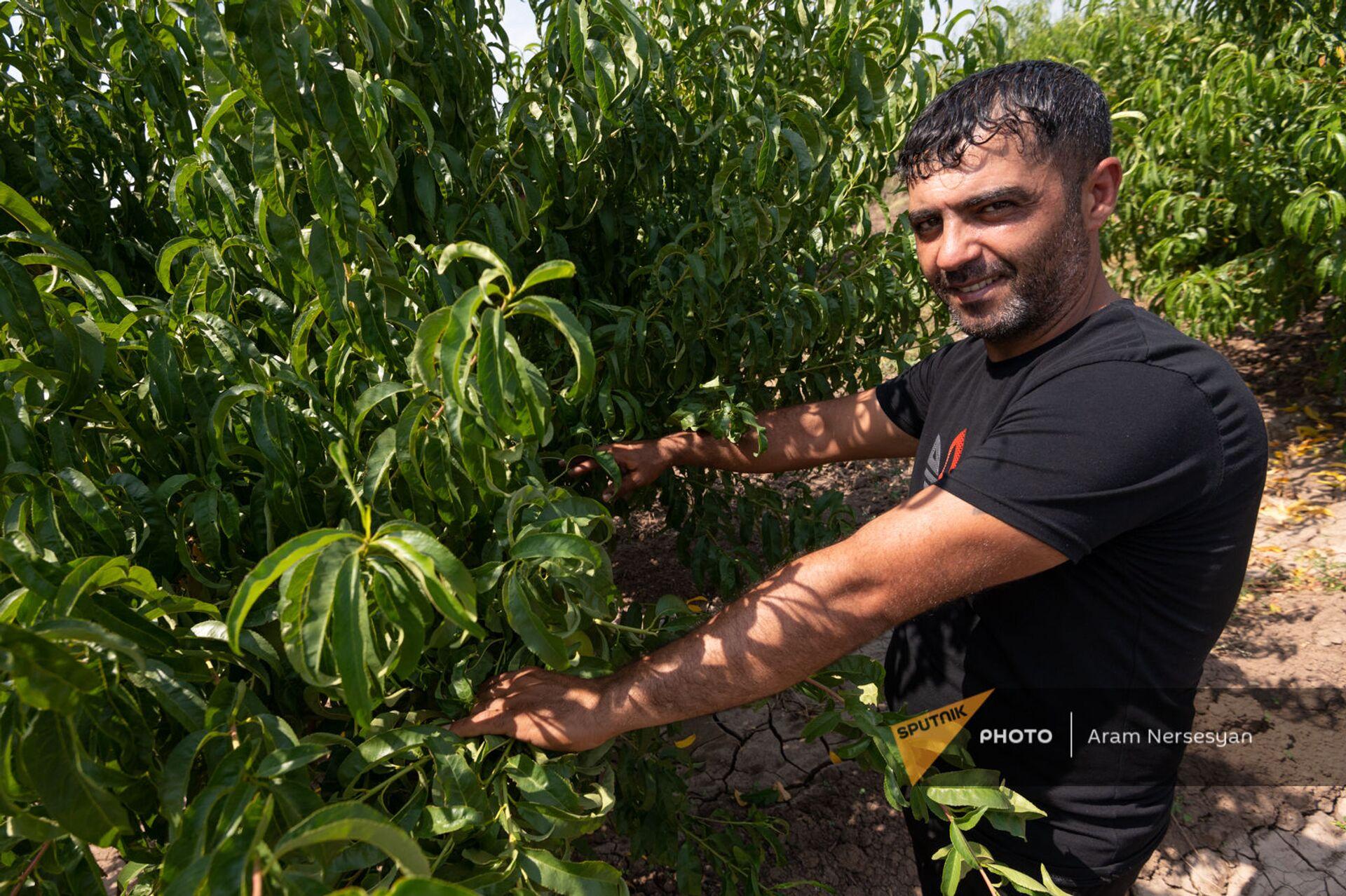 Тысяча деревьев из одной косточки: как в Армении выращивают нектарины - Sputnik Армения, 1920, 26.07.2021