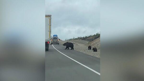 Медведи попрошайничают еду на трассе в Амурской области - Sputnik Армения