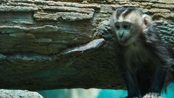 В Московском зоопарке родился детеныш львинохвостой макаки - Sputnik Армения