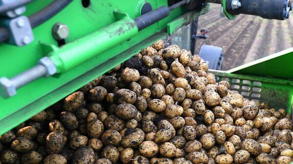 Уборка картофеля в Красноярском крае - Sputnik Армения