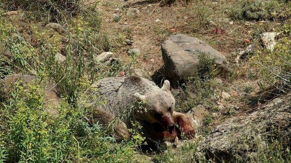 Найденная особь бурого медведя в селе Елпин Вайоцдзорской области - Sputnik Արմենիա
