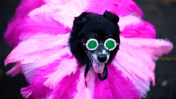 Участник ежегодного Хэллоуин-парада собак в Нью-Йорке - Sputnik Արմենիա