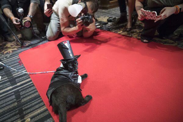 Մերլին անունով կատուն Նյու Յորքի «Algonquin» հյուրանոցում կատուների նորաձևության ցուցադրության ժամանակ - Sputnik Արմենիա