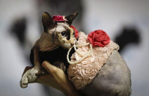 Բելառուսի մայրաքաղաք Մինսկում կատուների ցուցահանդեսի ժամանակ կինը ցուցադրում է իր կատվին - Sputnik Արմենիա
