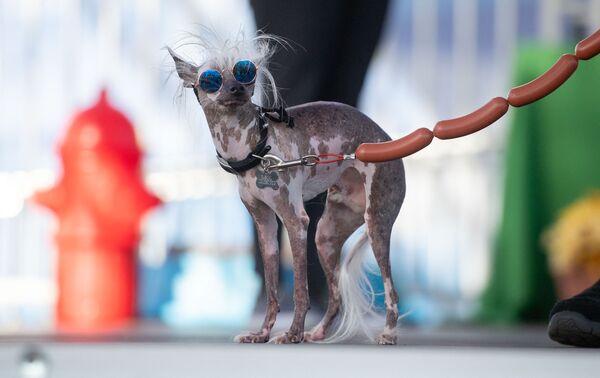 Այս կենդանին մասնակցում է «Տարվա ամենատգեղ շունը» մրցույթին, ԱՄՆ - Sputnik Արմենիա