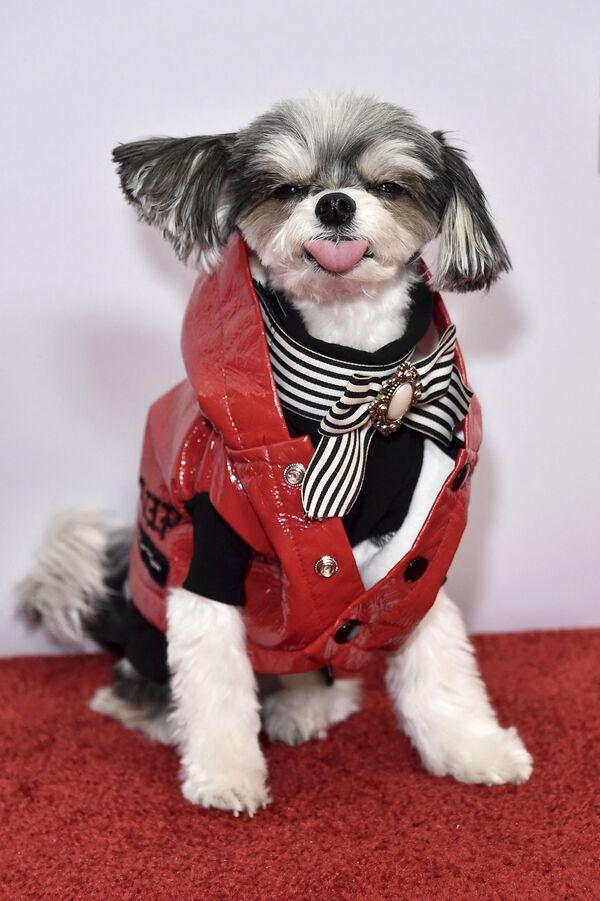 Այս շունն էլ մասնակցում է Նյու Յորքում կազմակերպված միջոցառմանը - Sputnik Արմենիա