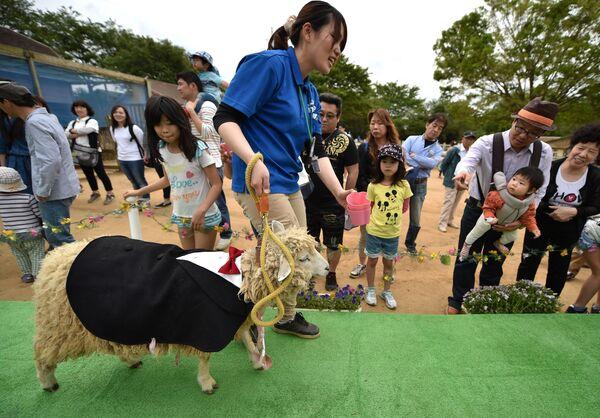Կոստյումով ոչխարը Տոկիոյի արվարձանում կազմակերպված նորաձևության ցուցադրության ժամանակ - Sputnik Արմենիա
