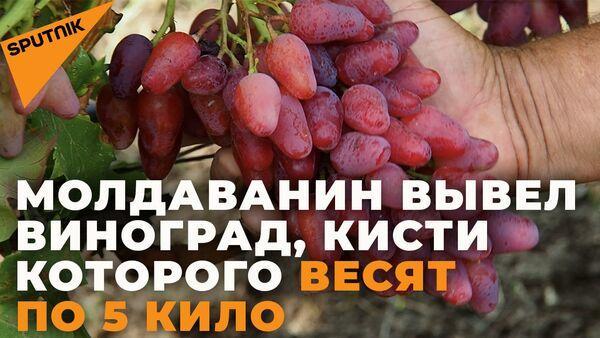 Молдавский селекционер выводит уникальные сорта винограда - Sputnik Армения