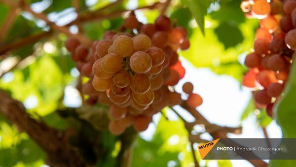 Виноград - Sputnik Армения